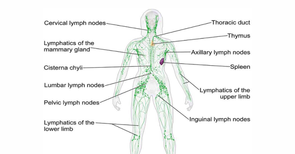 Lymph Nodes - Optimum Wellness